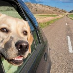 Un chien a le mal de transport : comment réagir ?